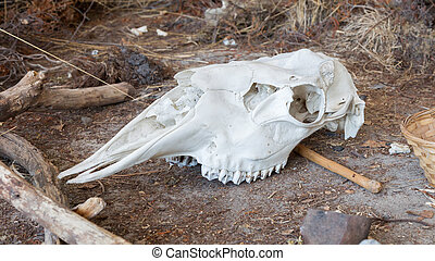 Bright white cow skull laying on the ground