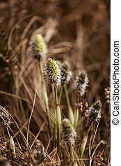 Beautiful hare's-tail cottongrass in a natural habitat in...