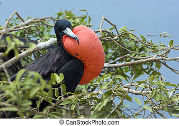 Frigate Bird - A frigate bird with a big red airbag