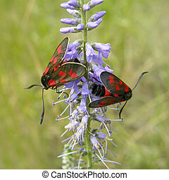 pistryanka,  Veronica,  six-spotted, Flores