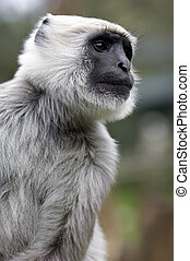 Gray haired monkey - Close up of a gray and white haired...