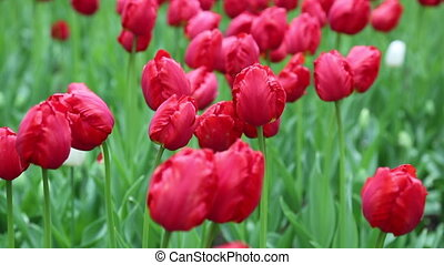 Red tulips flower bed background - Beautiful vibrant tulips...