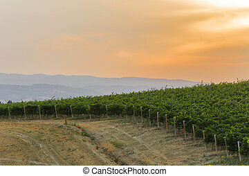 Green italian countryside with a path in the vineyard at...