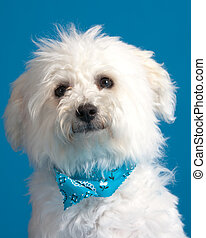 Bichon Frise Puppy - Young bichon frise puppy wearing...