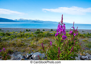 Fireweed and lake in Alaska - Fireweed in front of a lake...
