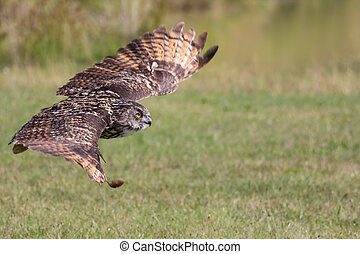 Silent hunter. Eagle owl gliding at ground level. Bird of...