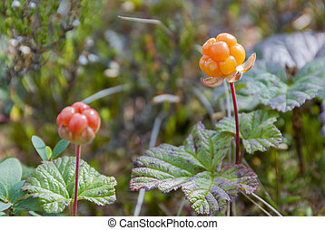 Ripe orange cloudberry on mire