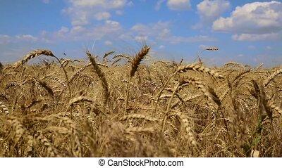 Ripe golden ears of wheat