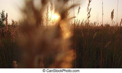 Grass sunlight at dawn morning summer. Nature field brown...