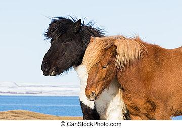 Icelandic pony farm animal, Iceland natural landscape...