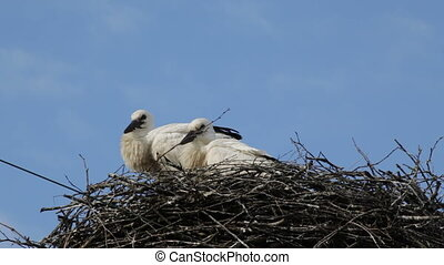 Two baby birds of a white stork in a nest against the background of the blue sky with clouds