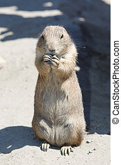 Cute black-tailed prairie dog stands on the sand close up