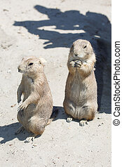 Two black-tailed prairie dog standing and eating
