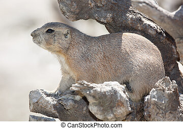 black-tailed prairie dog is hiding among the rocks. close-up
