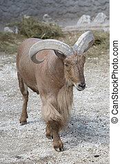 Barbary sheep (Ammotragus lervia). Wild life animal closeup