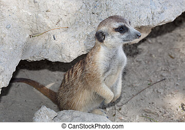 Wild suricate standing near the stone and looking into the...