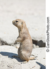 The black-tailed prairie dog (Cynomys ludovicianus) standing...