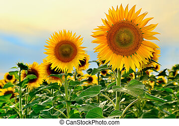 Sunflowers in the evening