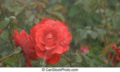 Blossom red rose under raindrops on green background