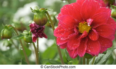 Beautiful red flower with water drops