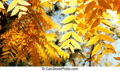 Gold autumn foliage