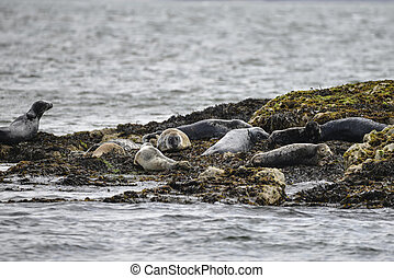 Common Harbor Seals Phoca Vitulina relaxing on rocks in...
