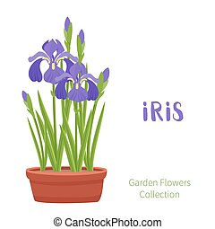 Spring flowers in flower pots. Irises, lilies of valley,...