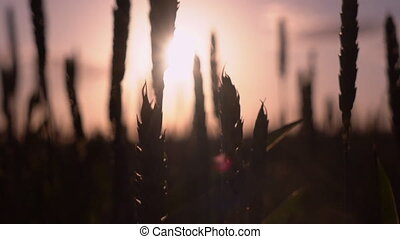 Amazing calm landscape at sunset in countryside - Wheat...