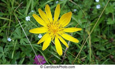 arnica - yellow flower