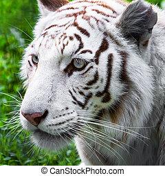 White tiger - Close portrait of white tiger in the wild