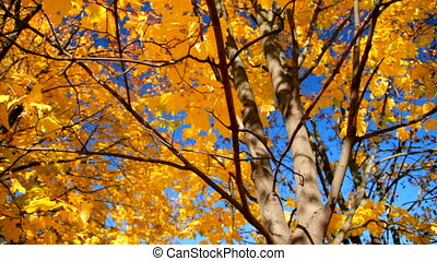Falling Leaves - Fall leaves against the blue sky