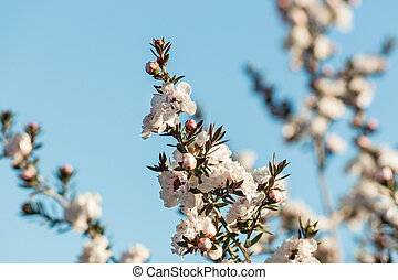 isolated white manuka tree flowers with blue sky background...