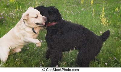 Labrador dog and royal poodle dog playing together in the...
