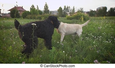 Two dogs playing together on a green grass. Labrador and...