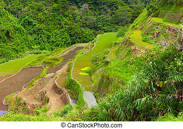 Rice fields layered with terraces in Philippines. - Rice...
