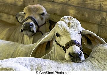 vacas,  brahman, ganado, exposición
