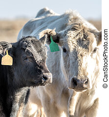 White Cow and  black calf looking at camera