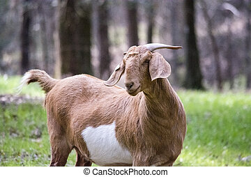 Boer female goat top half - Three-quarters view of a brown...