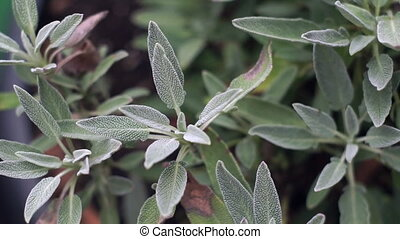Slow Panning Over Sage Plant - Slow panning from left to...
