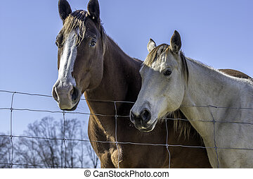 Two horses standing by fenceline - looking up at a brown and...