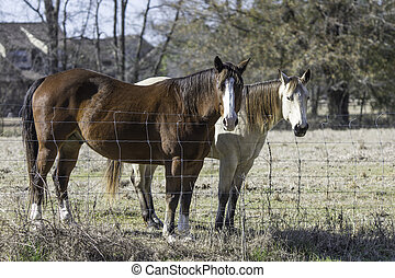 Two horses standing at fenceline - Blood bay and blond bay...