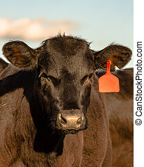 Black Angus heifer face - Face of a black Angus heifer with...