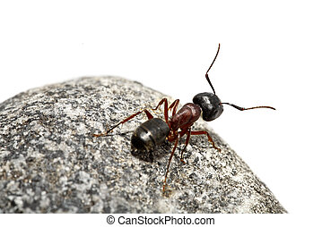 Curious ant