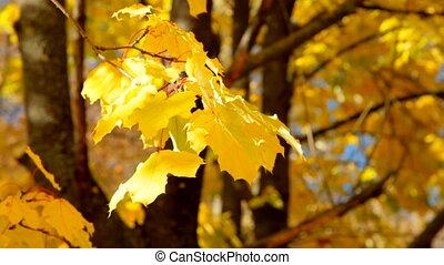 autumn yellow foliage