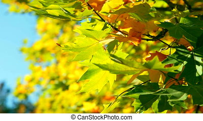 autumn foliage - maple leaves in autumn forest