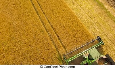 Aerial view combine harvester gathers the wheat at sunset. Harvesting grain field, crop season
