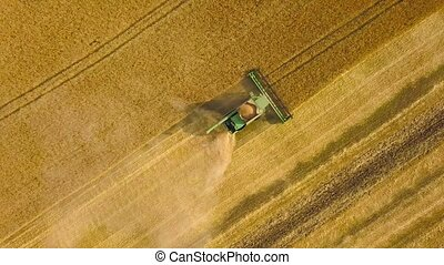 Top view combine harvester gathers the wheat at sunset....