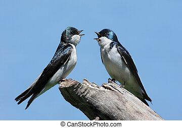 Pair of Tree Swallows on a stump - Pair of Tree Swallows...