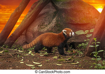 Red panda walks in the forest in China