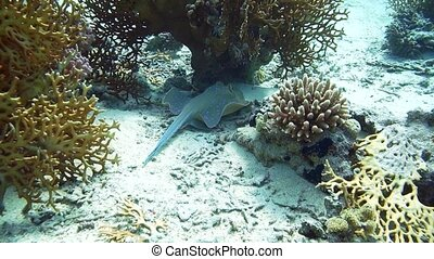 Bluespotted Ribbontail STINGRAY in the Red Sea. Handsome...